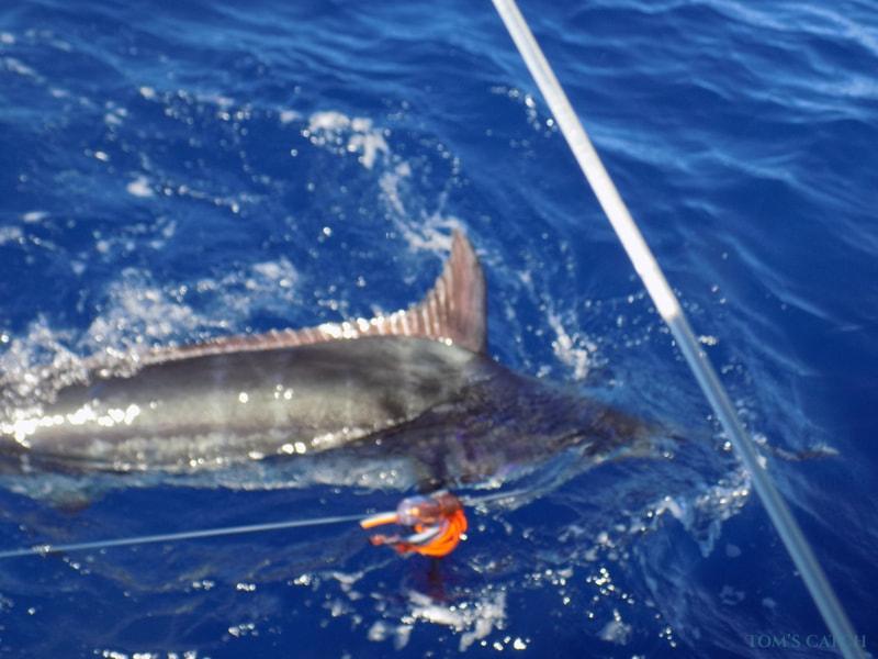 Geführte Angeltouren Blue Marlin 3