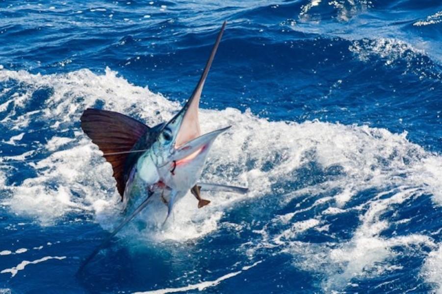 Geführte Angeltouren Wasabi 32 Blackfin