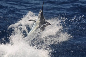 Blue Marlin in Cabo Verde