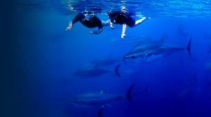 Swimming with Tunas