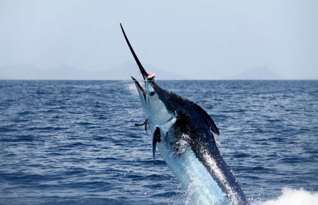 Marlin is THE most popular fish when deep sea fishing