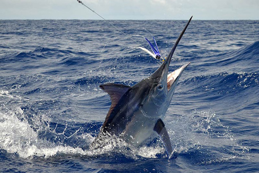 Blue Marlin fishing in Mauritius