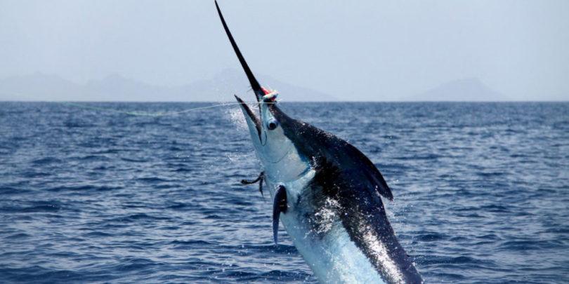 El destino de pesca para marlin: Cabo Verde