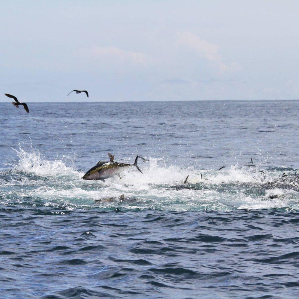 Insane tuna frenzies in Panama