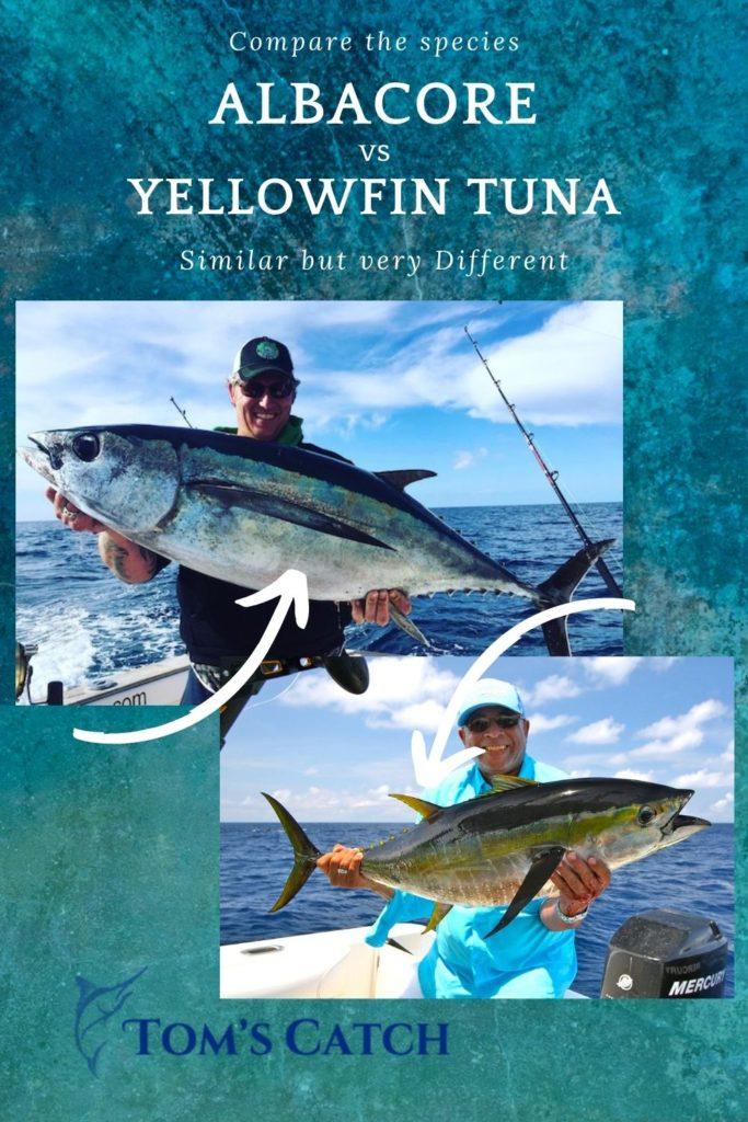 Albacore vs yellowfin tuna