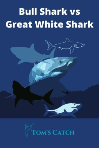 Bull Shark vs Great White Shark