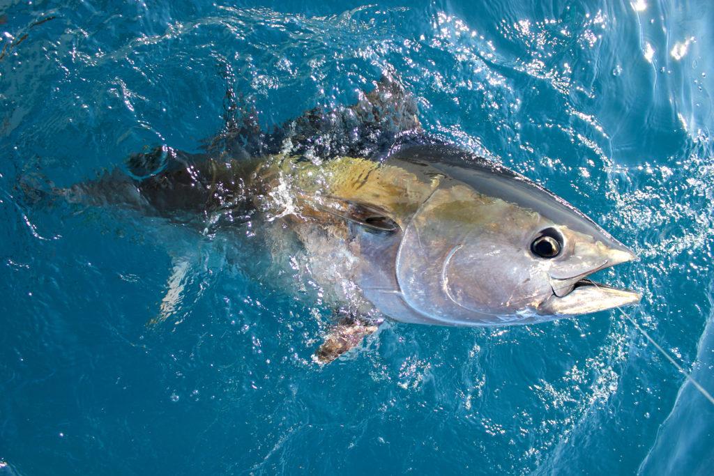 Bluefin tuna caught in the Mediterranean Sea