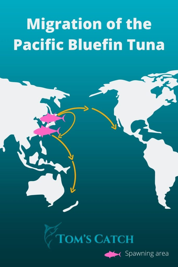 Migration and Spawning grounds of the Pacific Bluefin Tuna
