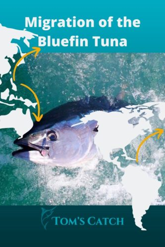 Migration of the bluefin tuna