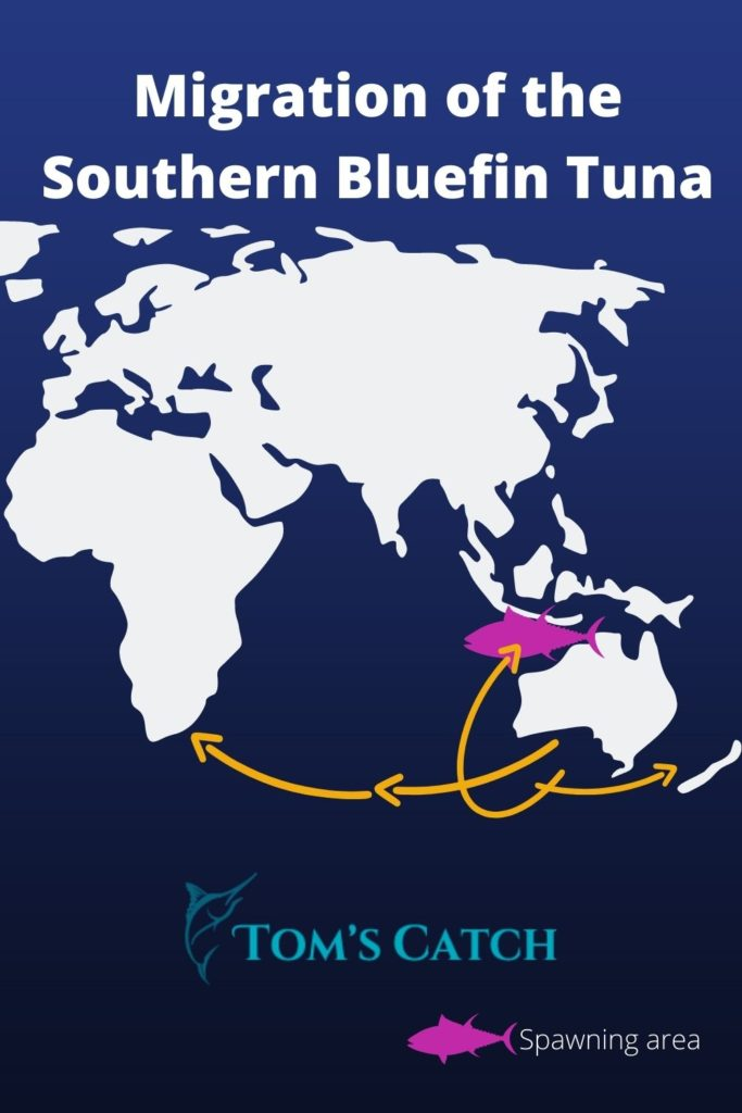 Migration and Spawning grounds of the Southern Bluefin Tuna