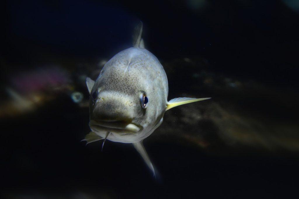 Cod vs Haddock