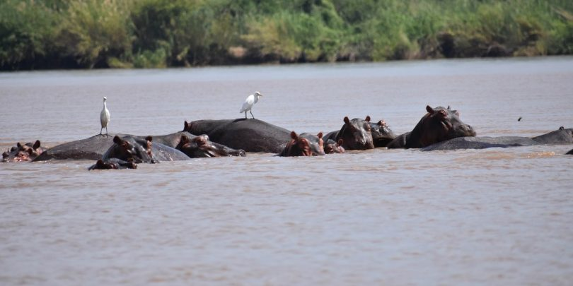 Hippos in the Congo River