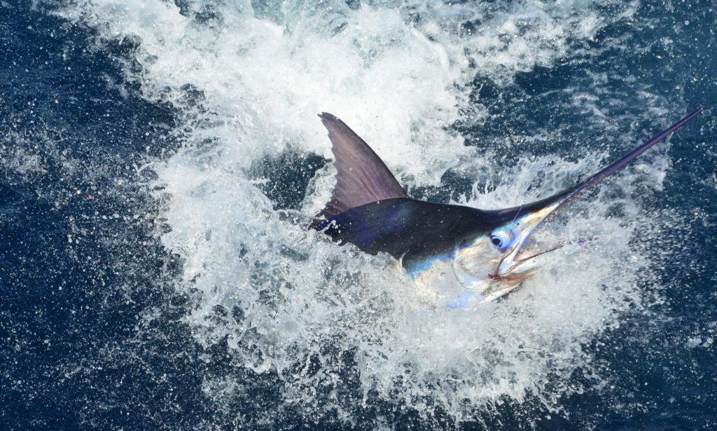 Blue Marlin in full action