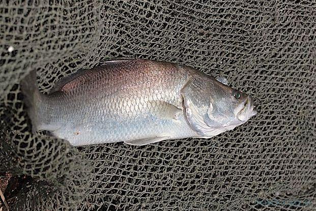 Pêche de Barramundi