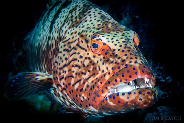 Pêche de Mérou