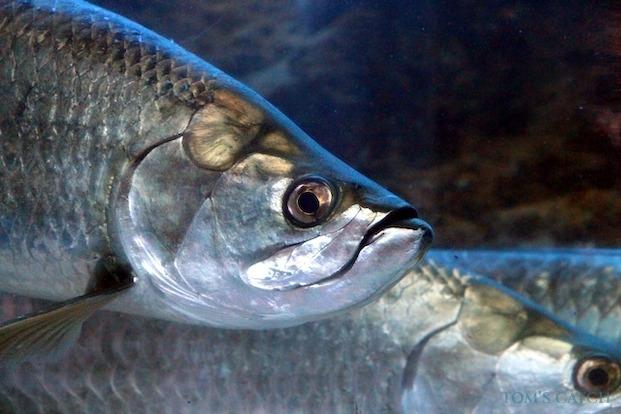 Pêche de Tarpon
