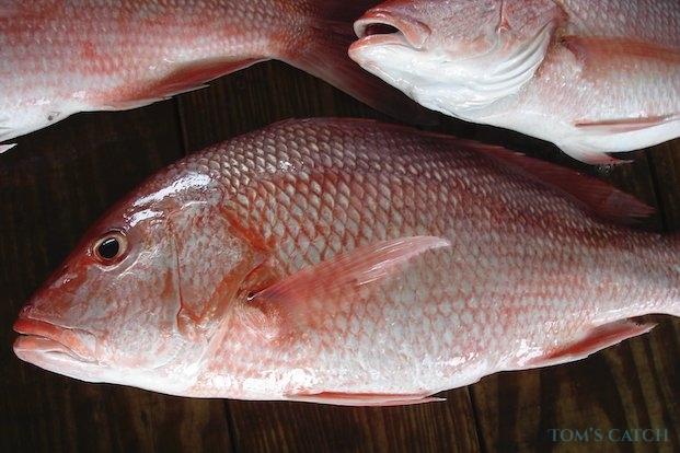 Pêche de Vivaneau rouge