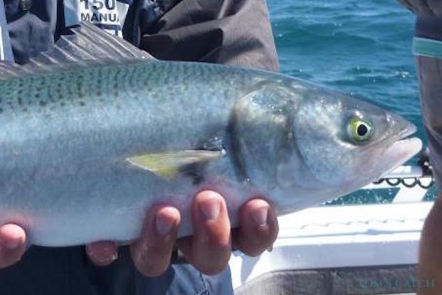 Pesca de Australian salmon