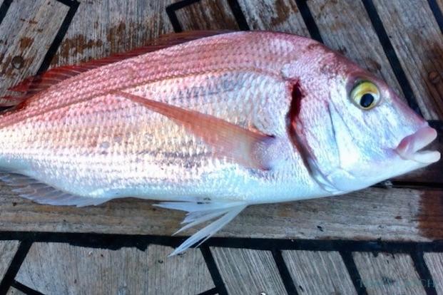 Pesca de Pagel o Breca