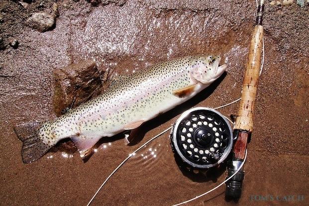 Regenbogenforelle fischen