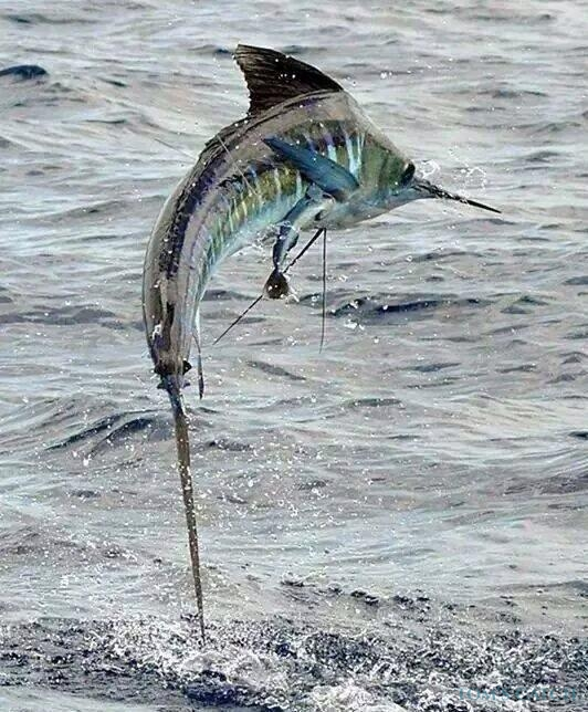 Charter de pêche Cabo Marlini 31
