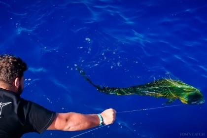 Mahi Sportfishing Puglia  vissen