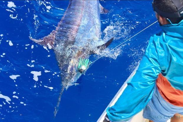 Blauwe marlijn vissen