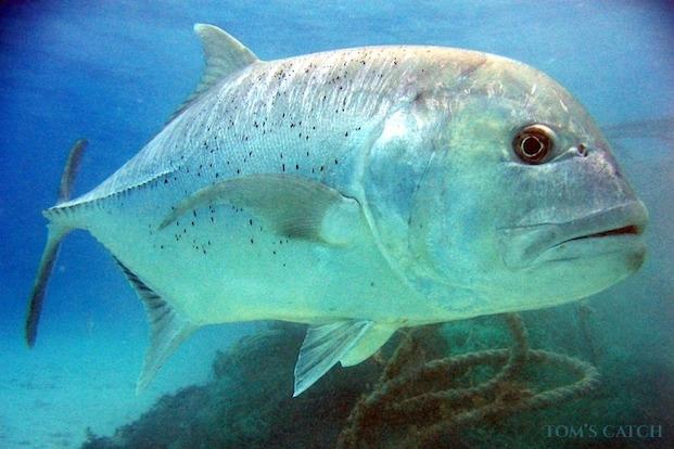 Giant Trevally vissen