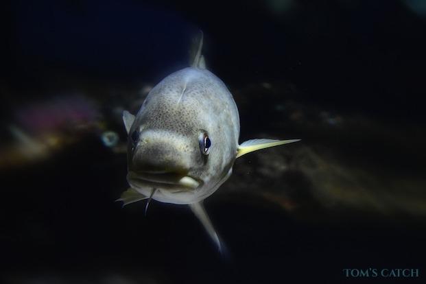 Kabeljauw vissen