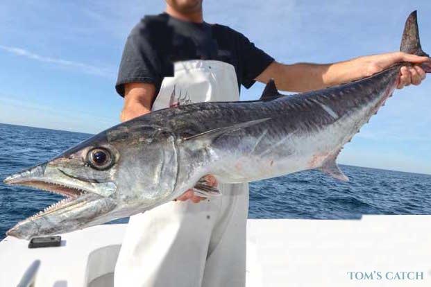 Koningsmakreel vissen