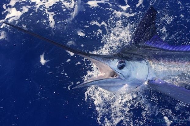 Witte marlijn vissen